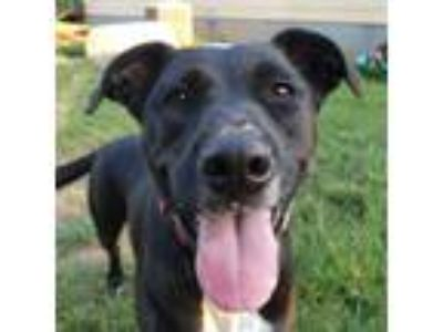 Adopt Rory a Black Labrador Retriever, Boxer