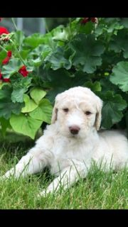 Goldendoodle PUPPY FOR SALE ADN-79331 - 2nd generation Goldendoodles  WILL SHED LESS