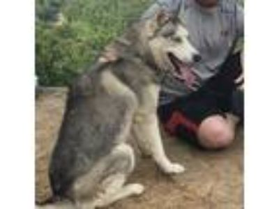 Adopt Koda a Gray/Silver/Salt & Pepper - with White Husky dog in Springdale