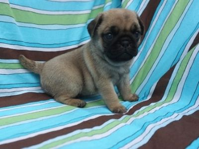 Pug PUPPY FOR SALE ADN-95202 - AKC Snickers Litter 2 left