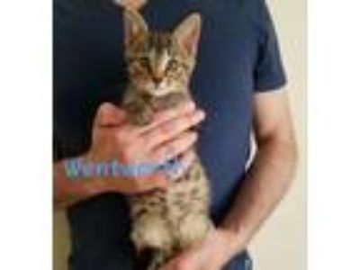 Adopt Wentworth a Domestic Short Hair