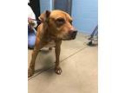 Adopt RED a Red/Golden/Orange/Chestnut - with White American Pit Bull Terrier /