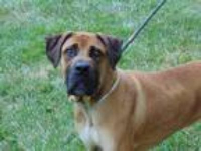 Adopt CAPTAIN a Tan/Yellow/Fawn - with White Bullmastiff / Mixed dog in