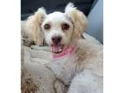 Adopt Twirl a Poodle