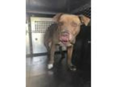 Adopt Ace a Brown/Chocolate American Pit Bull Terrier / Mixed dog in Fort Worth