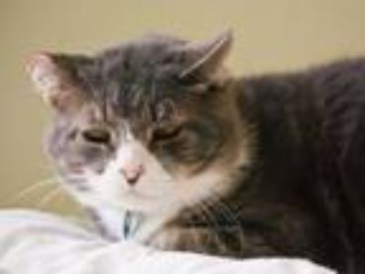 Adopt Truffles a Domestic Shorthair / Mixed (short coat) cat in Cumberland