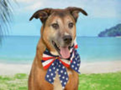 Adopt CAIRO a Brown/Chocolate German Shepherd Dog / Mixed dog in Fort