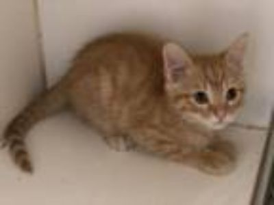 Adopt Mickey a Domestic Short Hair