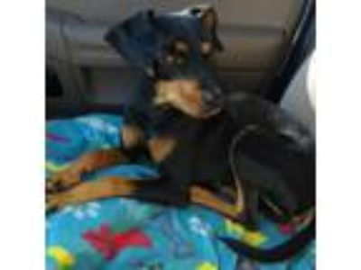 Adopt April a Black - with Brown, Red, Golden, Orange or Chestnut Dachshund /