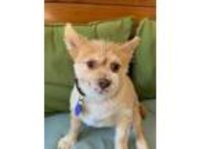 Adopt REGGIE a Tan/Yellow/Fawn - with White Pomeranian / Tibetan Spaniel / Mixed