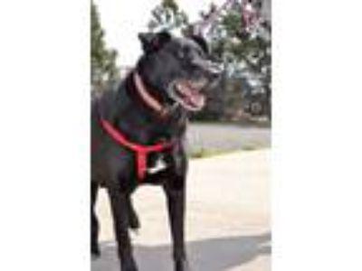 Adopt Donovan a Black - with Gray or Silver Labrador Retriever / German Shepherd