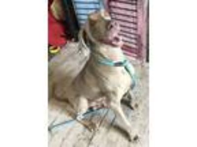 Adopt ROCKET a Wirehaired Pointing Griffon