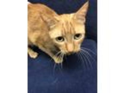 Adopt Hermione a Orange or Red Domestic Shorthair / Domestic Shorthair / Mixed