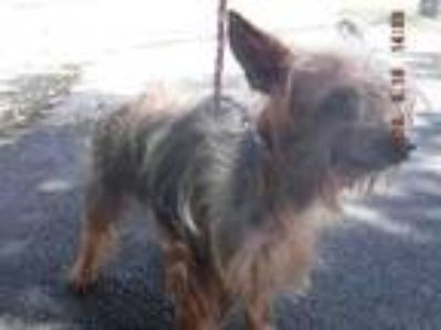 Adopt SPEEDY a Yorkshire Terrier