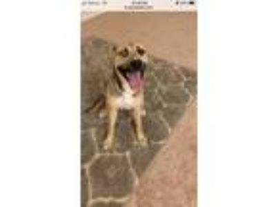 Adopt Faith a Black - with Tan, Yellow or Fawn German Shepherd Dog / Husky /