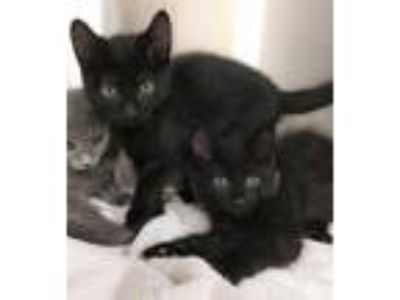 Adopt Reela a All Black Domestic Mediumhair / Domestic Shorthair / Mixed cat in