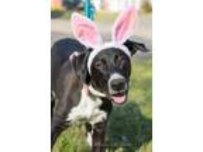 Adopt Cash a Black - with White Great Dane / Labrador Retriever / Mixed dog in