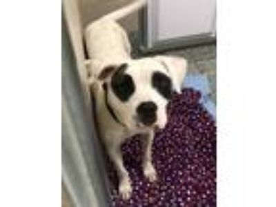 Adopt Destiny a White American Pit Bull Terrier / Mixed dog in Florence
