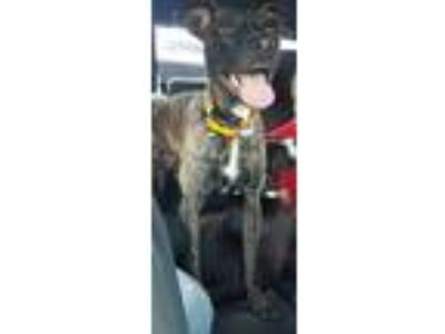 Adopt Maggie a Brindle Whippet / Terrier (Unknown Type, Medium) dog in Canton