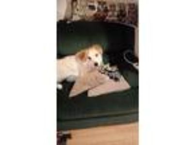 Adopt Fib a Tan/Yellow/Fawn - with White Great Pyrenees dog in Lansdale