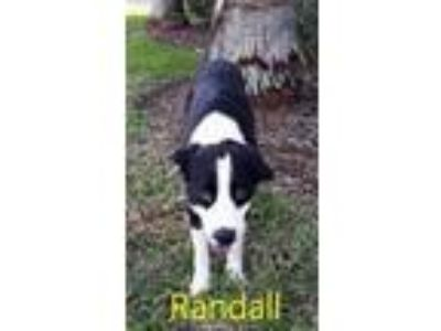 Adopt Randall a Bearded Collie