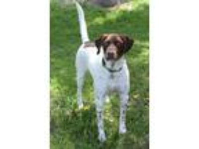 Adopt Jake a German Shorthaired Pointer