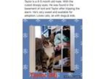 Adopt Taylor a Brown Tabby Domestic Shorthair (short coat) cat in Brentwood