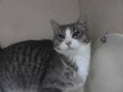 Adopt Bradley a Gray or Blue Domestic Shorthair / Domestic Shorthair / Mixed cat