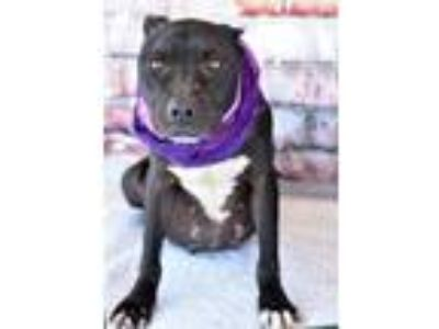 Adopt Jocelyn a Labrador Retriever