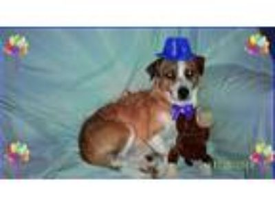 Adopt Scrappy with FLD/Vermont a Terrier