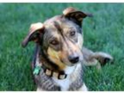 Adopt Willow-30 lbs! Watch my video! a Tricolor (Tan/Brown & Black & White)