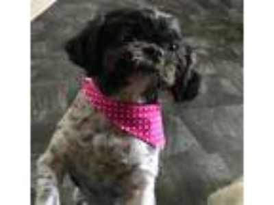 Adopt Amanda a Black - with White Shih Tzu / Mixed dog in Cranston