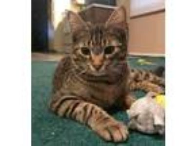 Adopt Tony a Brown Tabby Domestic Shorthair (short coat) cat in South Bend