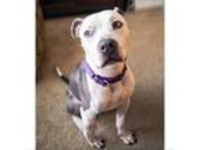 Adopt Benito a Pit Bull Terrier / Mixed dog in Austin, TX (24569644)