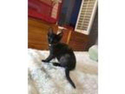 Adopt TISH*LAP Kitten** a Tortoiseshell Burmese (short coat) cat in San Diego