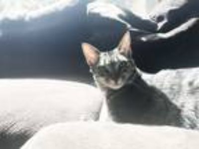 Adopt Gigi a Gray, Blue or Silver Tabby Domestic Mediumhair / Mixed cat in