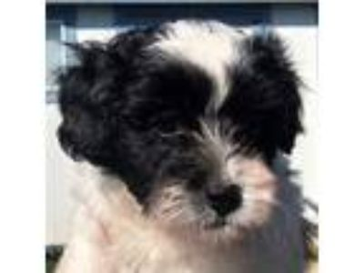 Adopt Mikey a Black - with White Bichon Frise / Mixed dog in La Costa