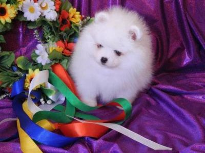 Teacup Pomeranian puppies Available