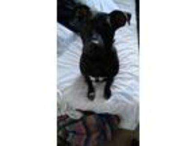 Adopt Drax a Black - with White American Pit Bull Terrier / Labrador Retriever