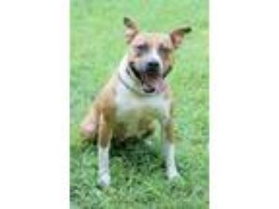 Adopt Nina a Tan/Yellow/Fawn - with White Boxer / Pit Bull Terrier / Mixed dog