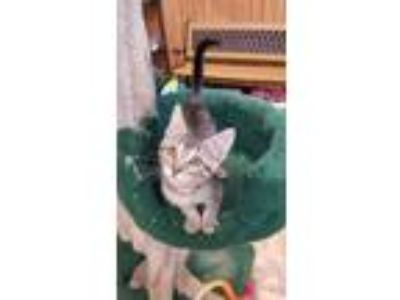 Adopt Kitten 18321 a Brown or Chocolate Domestic Shorthair cat in Parlier