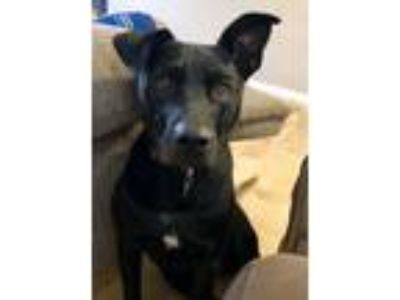 Adopt Oakley a Black Labrador Retriever / Mixed dog in Hermitage, TN (23373110)
