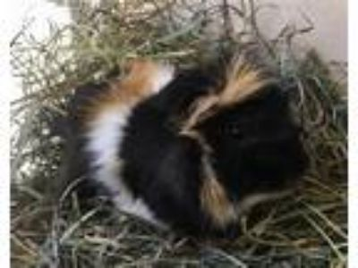 Adopt Spike a Guinea Pig small animal in Monterey, CA (25910548)