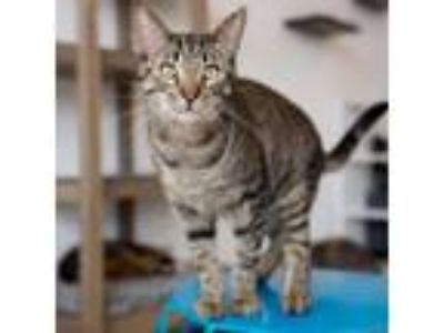 Adopt Rupert a Domestic Short Hair