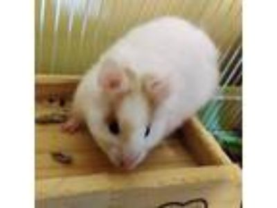 Adopt Shuri a White Hamster / Mixed small animal in Seattle, WA (25652769)