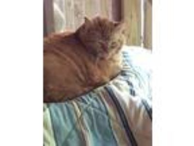 Adopt Henry a Domestic Medium Hair, Tabby