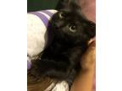 Adopt Bob a All Black Domestic Longhair / Mixed (long coat) cat in Spring