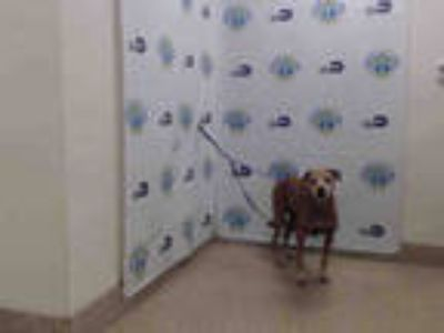 Adopt LEE a Brown/Chocolate Labrador Retriever / Mixed dog in Doral