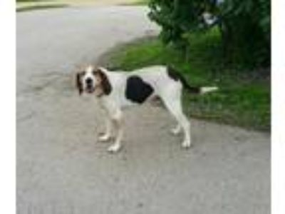 Adopt Tilly a Tricolor (Tan/Brown & Black & White) Coonhound / Mixed dog in