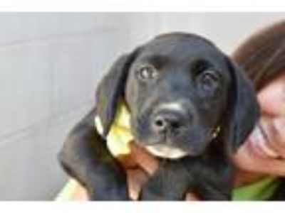 Adopt Kauai a Black Labrador Retriever / Mixed dog in McKinney, TX (26202944)